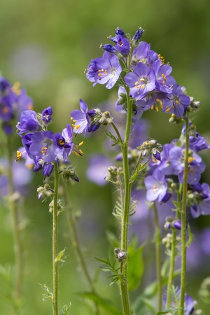 eudicots: Jacobs ladder Stock Photo