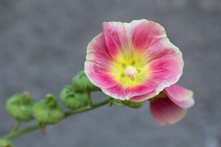 Common Hollyhock Stock Photo