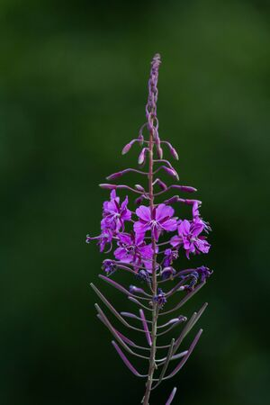 fireweed: Commonly Fireweed