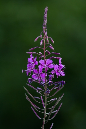myrtales: Commonly Fireweed