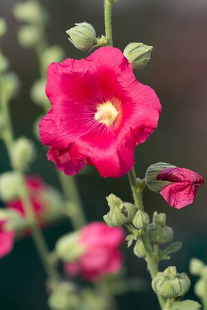 hollyhock: Red Hollyhock Stock Photo