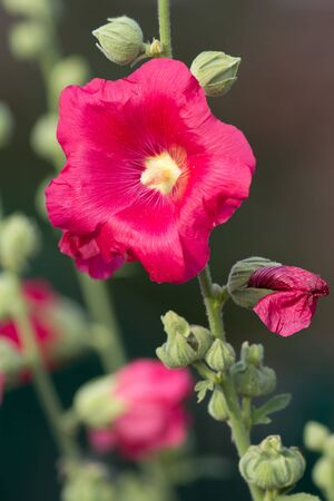 Red Hollyhock Stock Photo