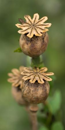 oriental poppy: Capsules of the Turkish poppy