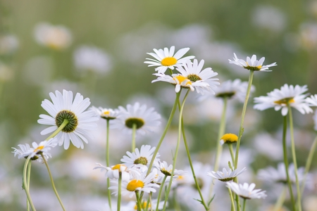 Meadows Marguerites