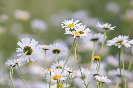 marguerites: Meadows Marguerites