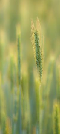 secale: Rye ear