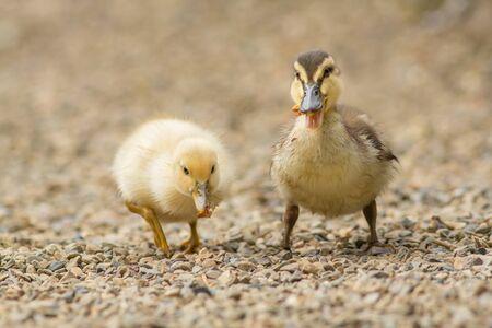 pollitos: polluelos híbridos Mallard Foto de archivo