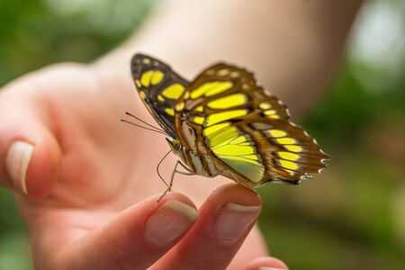 trustful: Malachite butterfly on a girls hand Stock Photo