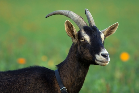 brown goat: Brown goat on the Meadow