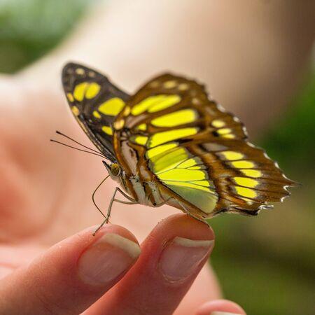malachite: Malachite butterfly on a girls hand Stock Photo