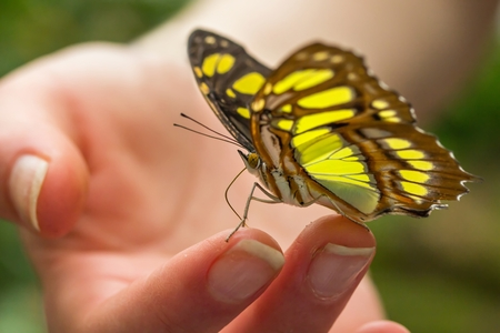 Malachite butterfly on a girls hand Stock Photo