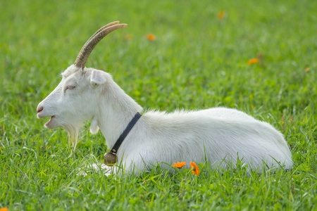 bovid: white goat on the Meadow Stock Photo