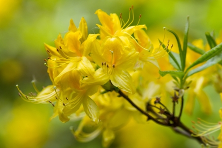 ericaceae: Yellow rhododendron blossoms