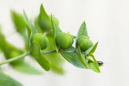 fruit stand: Fruit stand Euphorbia Lathyris Stock Photo