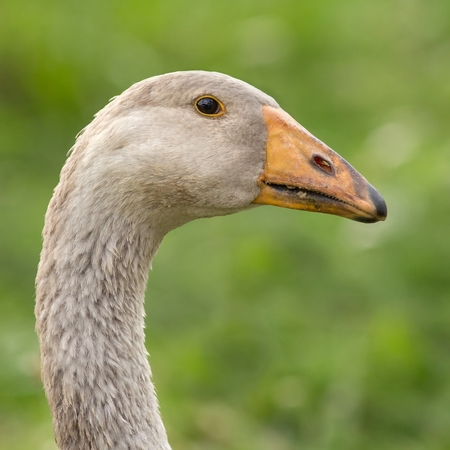 Young Domestic goose Stock Photo