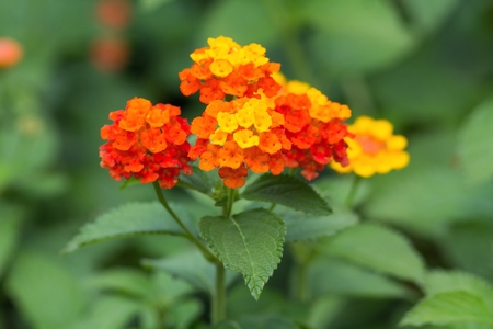 invasive plant: Lantana Camara Stock Photo