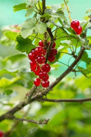 gaudy: Red currant