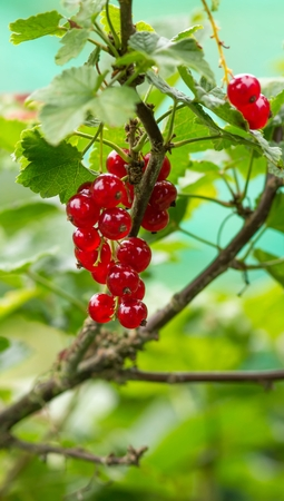 dicotyledon: Red currant