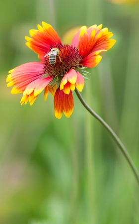 apis: bee on a blanket flower Stock Photo