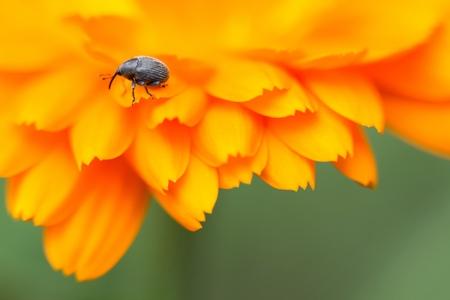 weevils: Weevil on marigold Stock Photo