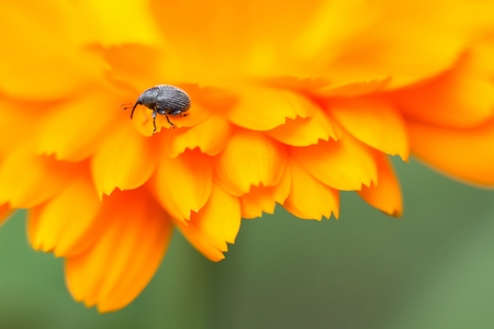 gaudy: Weevil on marigold Stock Photo