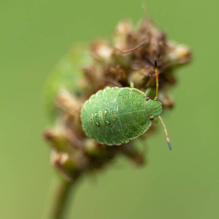 Nymph of the Green stink bug on ribwort plantain Imagens