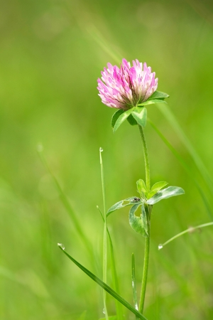 red clover: Red clover after the rain Stock Photo
