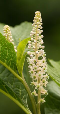 Inflorescence of the Indian poke Berry