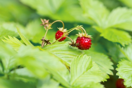 Inflorescence of the wild strawberry