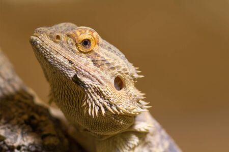squamata: Bearded Dragon
