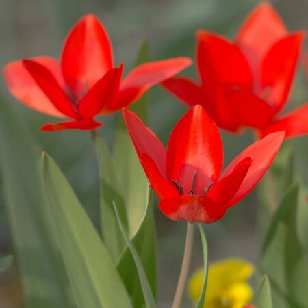 Red Tulips in the sunshine