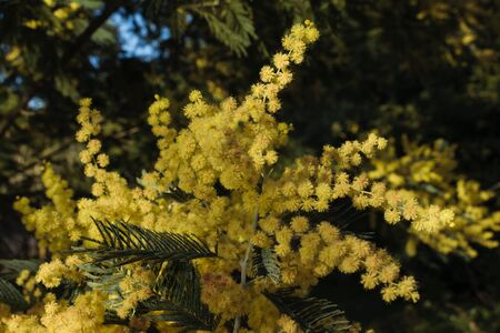 mimosa flower in yellow. Spring nature background