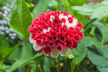 mexico national flower in red and white. Dahlia in nature background