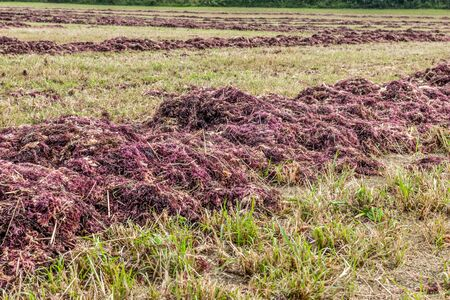 red seaweed drying on the field for agar production