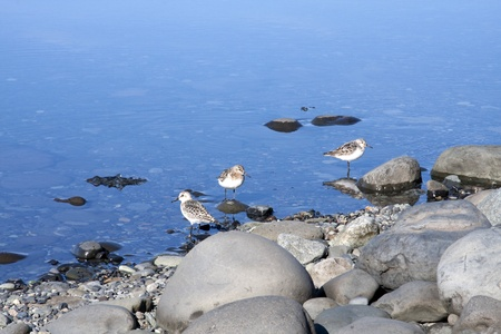 Waterbirds in Iceland along a waterfront with pebbles and stones
