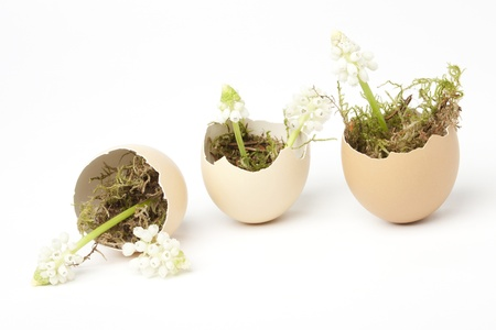 Three broken eggs filled with moss and white grape hyacinths Stock Photo