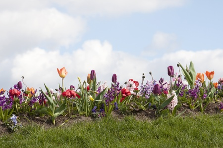 Colorful border of tulips, hyacinths, violets and daffodils between grass on a sunny day Stock Photo