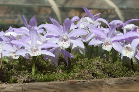 Beautiful lila orchid like flowers in a wooden planter filled with moss