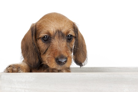 Dachshund puppy sitting in a wooden box photo