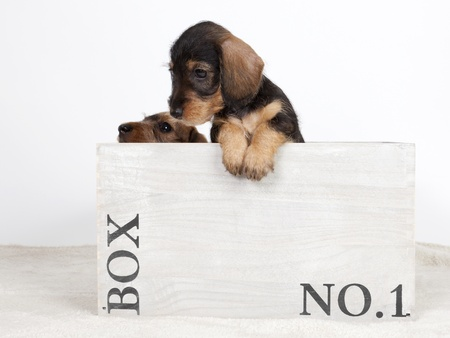 Two wire-haired dachshund puppies in a wooden box Stock Photo
