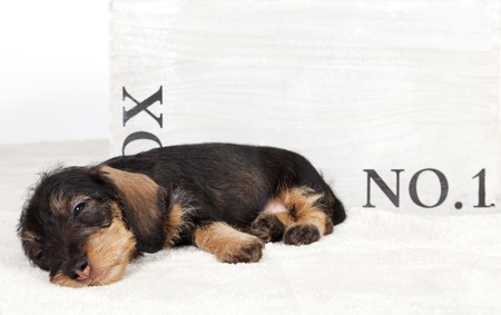 Sleepy dachshund puppy lying in front of a wooden box