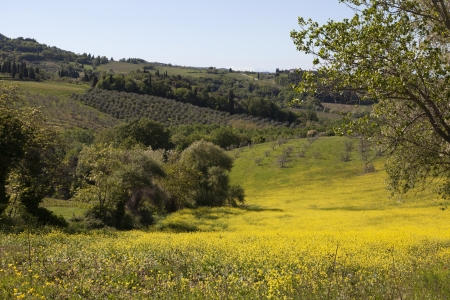 Hills with trees and rapeseed in Tuscany, Italy Stock Photo