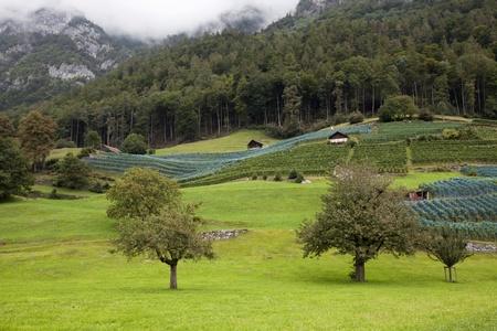 Vineyards on green hills in Switzerland
