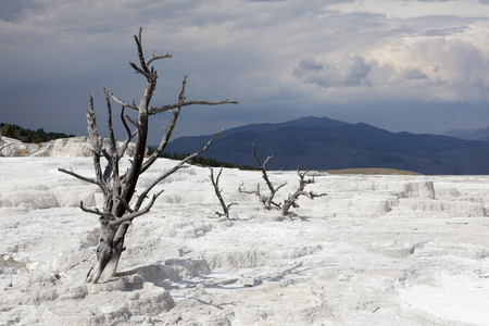 Dead trees at Mammoth Hot Springs, Yellowstone National Park Stock Photo