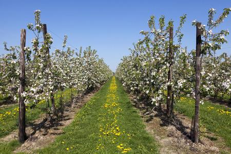 Fields with fruit trees in blossom, Haspengouw, Belgium Stock Photo