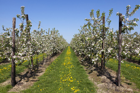 alberi da frutto: I campi con alberi da frutto in fiore, Haspengouw, Belgio