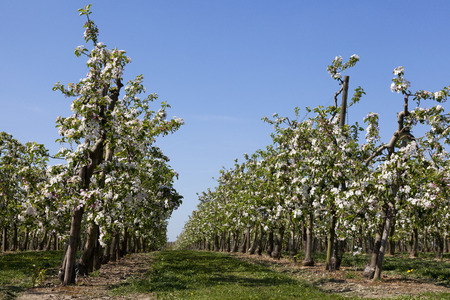 Fields with fruit trees in blossom, Haspengouw, Belgium Stock Photo