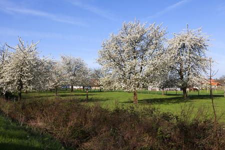Landscape with beautiful cherry trees in blossom, Haspengouw, Belgium