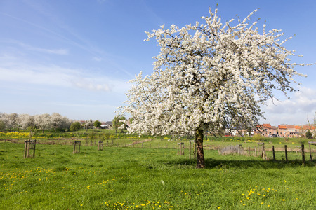 Beautiful cherry tree in blossom, Haspengouw, Belgium