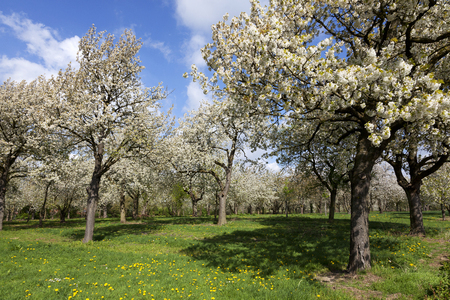 Beautiful orchard with cherry trees in blossom, Haspengouw, Belgium